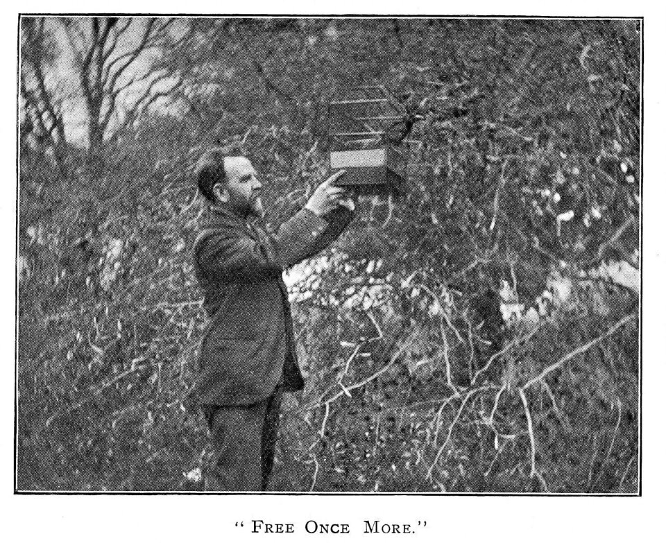 """""""Free Once More"""" – Ernest Bell freeing a caged linnet circa 1902"""
