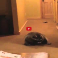 Rolling Raccoon