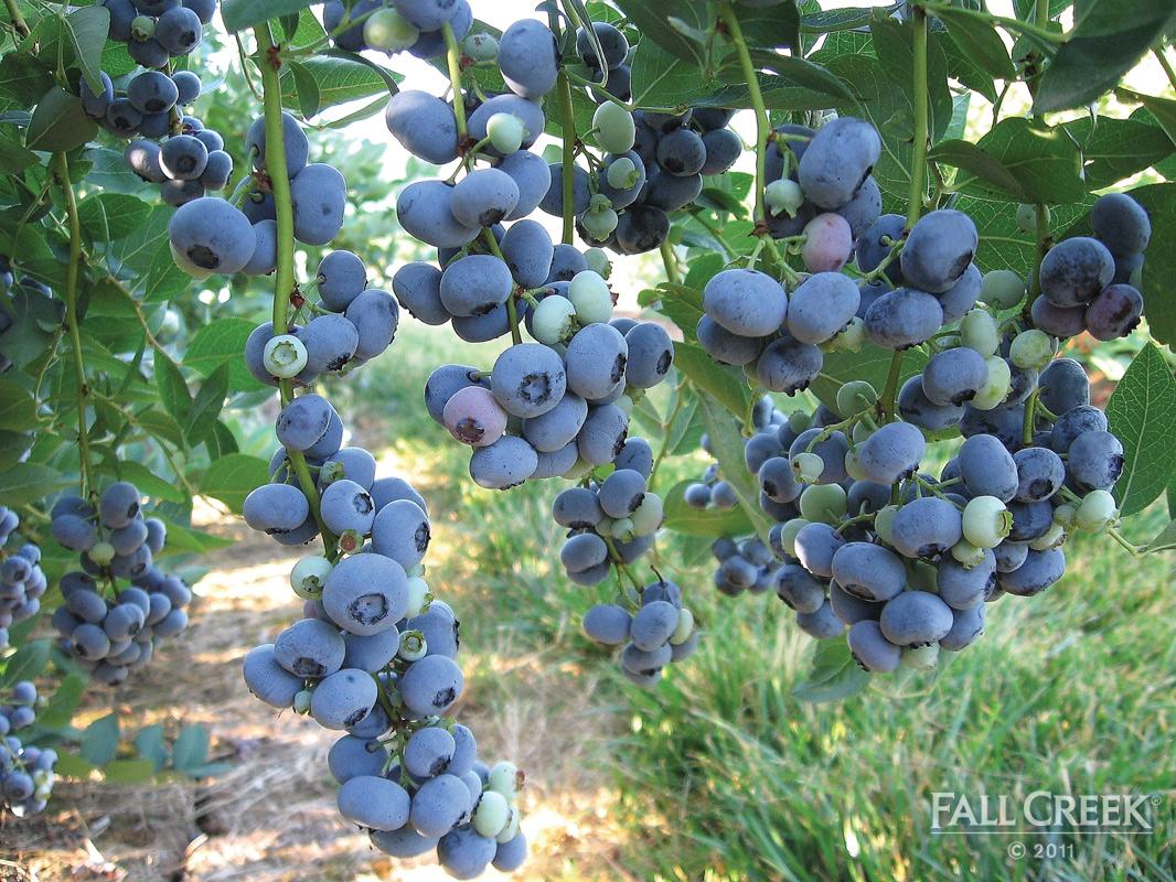 Blueberry Superfood The Veggie Blog