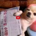 Laid Back Chihuahua