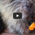 Everyone's getting into pumpkins right now—even the animals! This adorable porcupine seems to really love his pumpkin treat, and we just love watching him go to town. We hope you […]