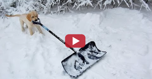 Dogs Helping Shovel Snow