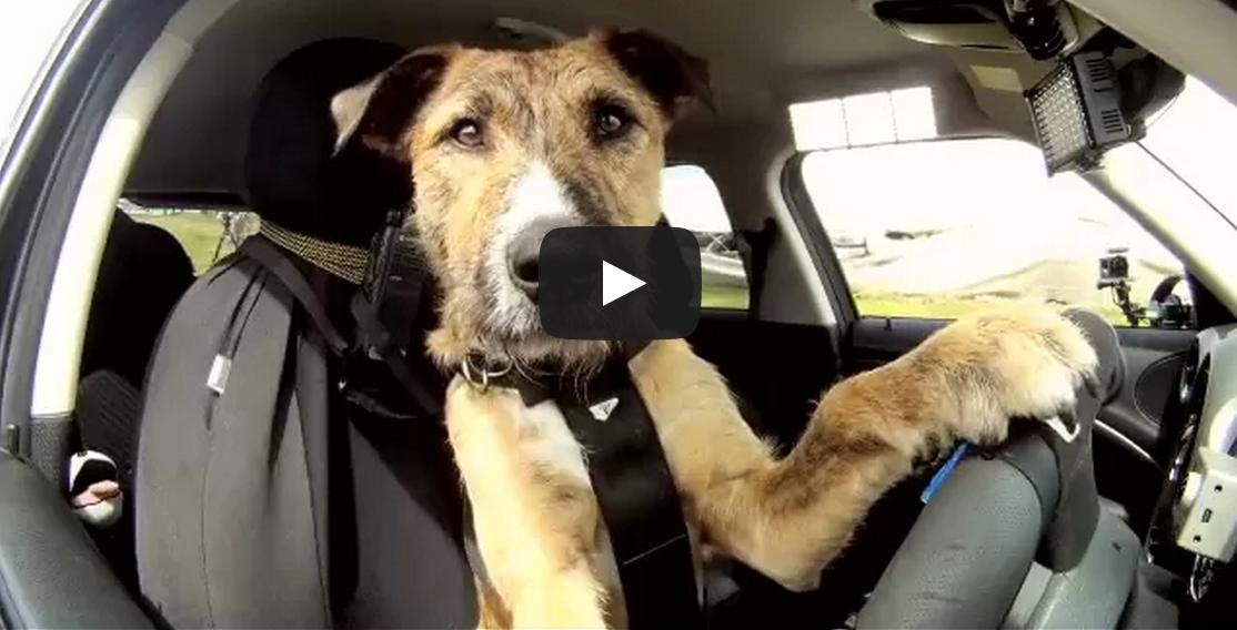 Meet Porter. The World's First Driving Dog.