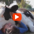 Salvador was born on a dairy farm in Chile and was set to be slaughtered for veal, but his fate changed when the Santuario Igualdad Interespecie rescued him! Now he […]