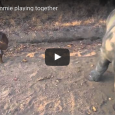 Gertje the white Rhino (also known as 'Little G') lost his mom to poachers, but found love again with his friend Lammie. Check out this sweet video of the two friends […]