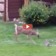 2 minutes and 18 seconds of pure cuteness! Check out this fawn and bunny playing in what seems like a scene right out of Bambi! The video was captured at […]