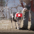 This is such aninspiring story aboutHope, a blind goat livingat Soledad Sanctuary in California: