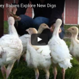 These baby turkeys arrived to Animal Place in November, saved from a large hatchery. Here they areexploring their new pasture, flapping around wildly, and enjoying some treats from a free […]