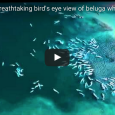 Two thousand beluga whales werefilmed frolicking in pristine Arctic waters in this rare and beautiful footage shot by a drone. Arctic adventure tour guide Nansen Weber captured the footage in […]