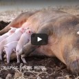 Rita the pig did something amazing–she broke free from a flimsy cage on a transport truck headed to a slaughterhouse, and jumped from the moving vehicle to freedom. She miraculously […]