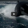 Check out the amazing encounter this couple had while vacationing in Mexico–orcas swimming right alongside their boat!