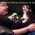 Because a video of a 20-day-old Siberian Husky/Alaskan Malamute puppy howling is exactly what you need to help you get through your Monday!